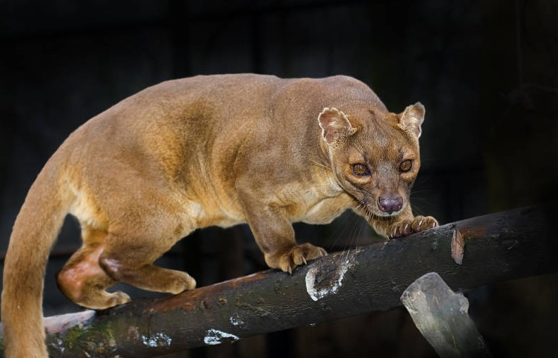 Facts about Fossa, the Top Predator in Madagascar Forests
