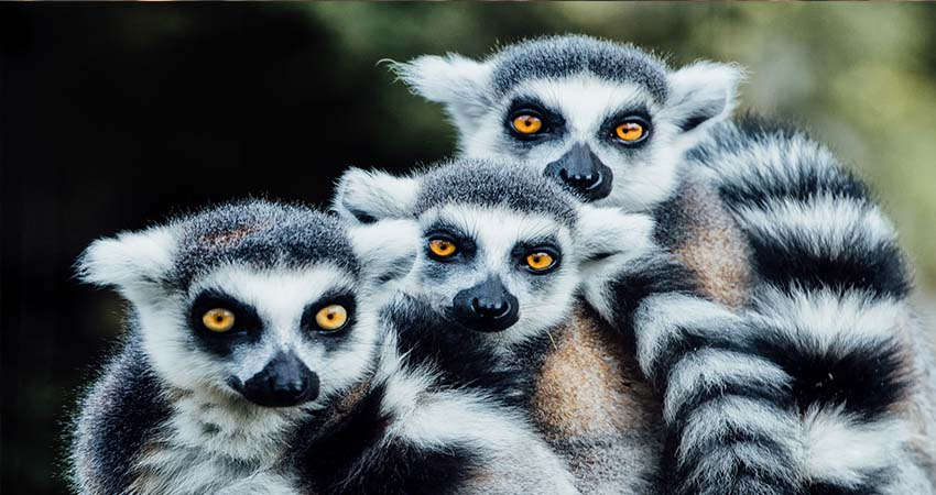 Endemic Animal in Madagascar You won't Find Anywhere Else