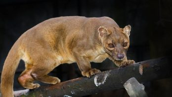 Facts about Fossa